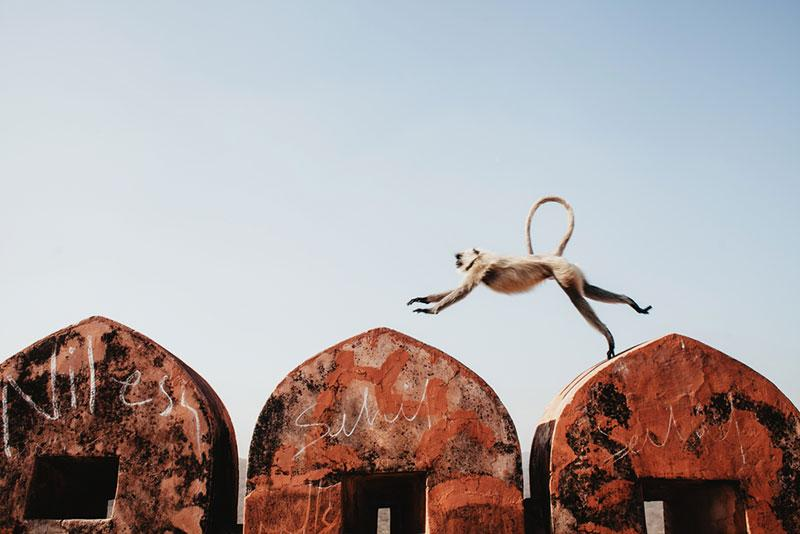 Monkey langur jumps at the wall of an old building