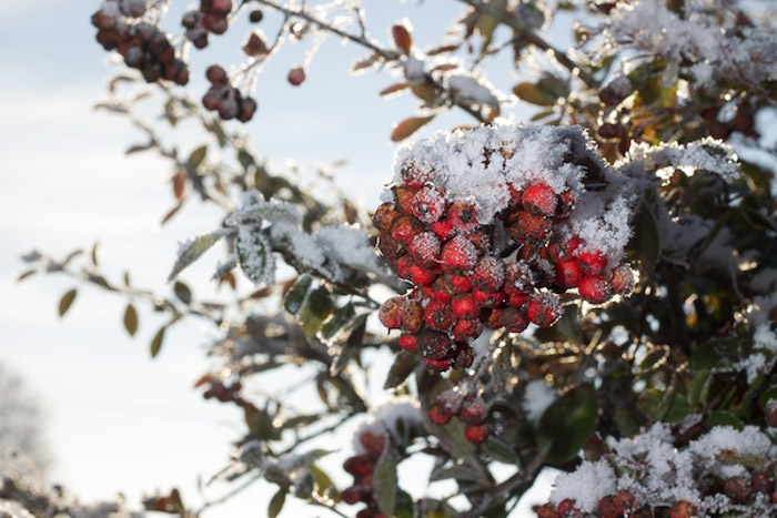 A photo of snow covered berries shot outdoors with a flash