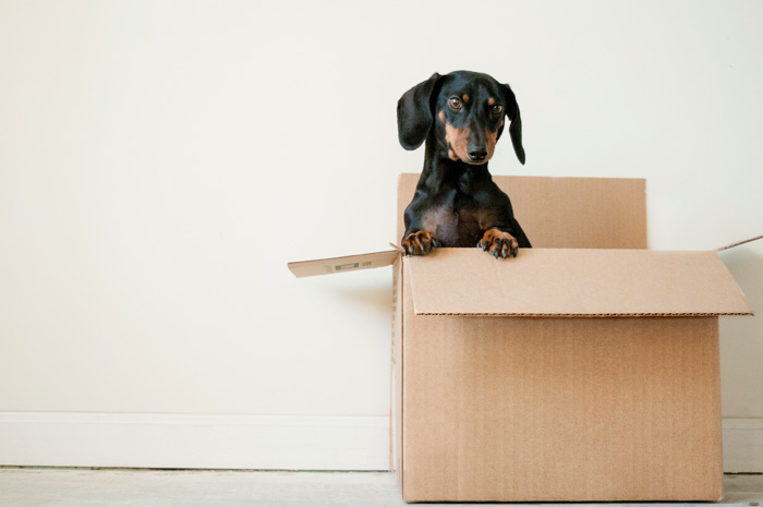 A cute pet photography shot of a black dog in a cardboard box