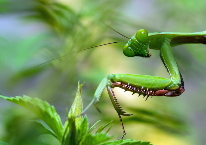 A close up photography shot of a praying mantis taken with a macro lens