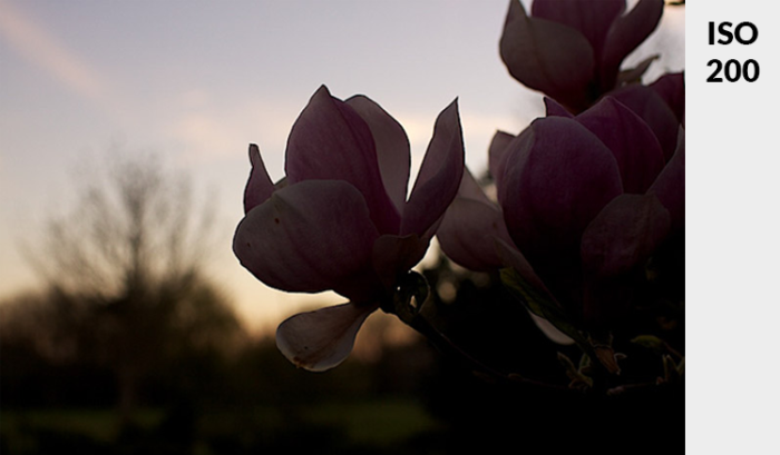 Photo of a pink flower in low light - demonstrating ideal exposure taken at ISO 200.