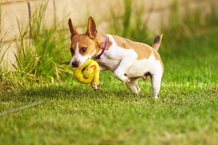 A small dog running and playing with a toy